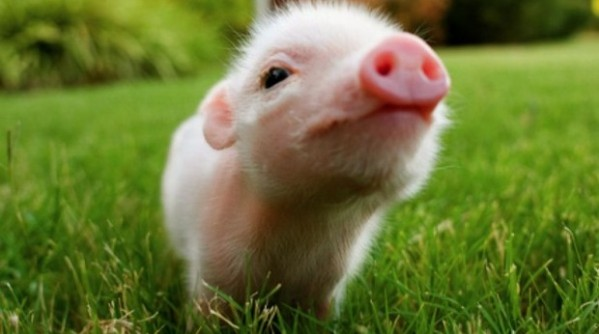 Cute-Baby-Pig-picture