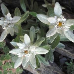 Leontopodium nivale-130513-bl