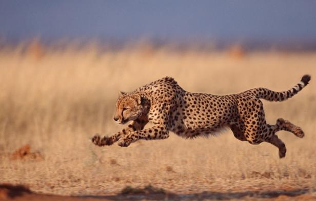 http://vilagszam.hu/cikkek/kihalas-fenyegeti-a-vadon-elo-gepardokat--sok-kart-okoz-az-illegalis-vadkereskedelem.html/7767