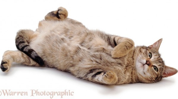 Oestrus female tabby cat, Dainty, rolling after mating