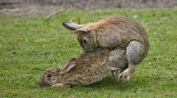 2013_F1_Lotus_F1_Raikkonen_exit_Twitter_rabbit_mating_