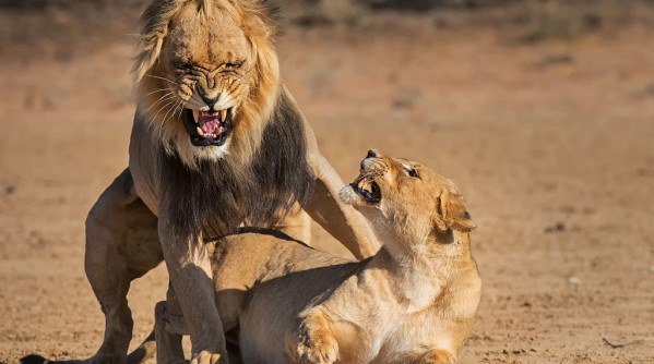 lions-after-mating-1