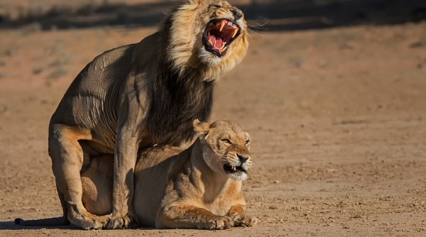 lions-mating-5