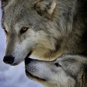 farkasok_pár