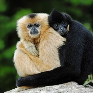 Northern White-cheeked Gibbons, (Nomascus leucogenys, Hylobates concolor leucogenys), pair, captive, Asian species, Czech Republic, Europe