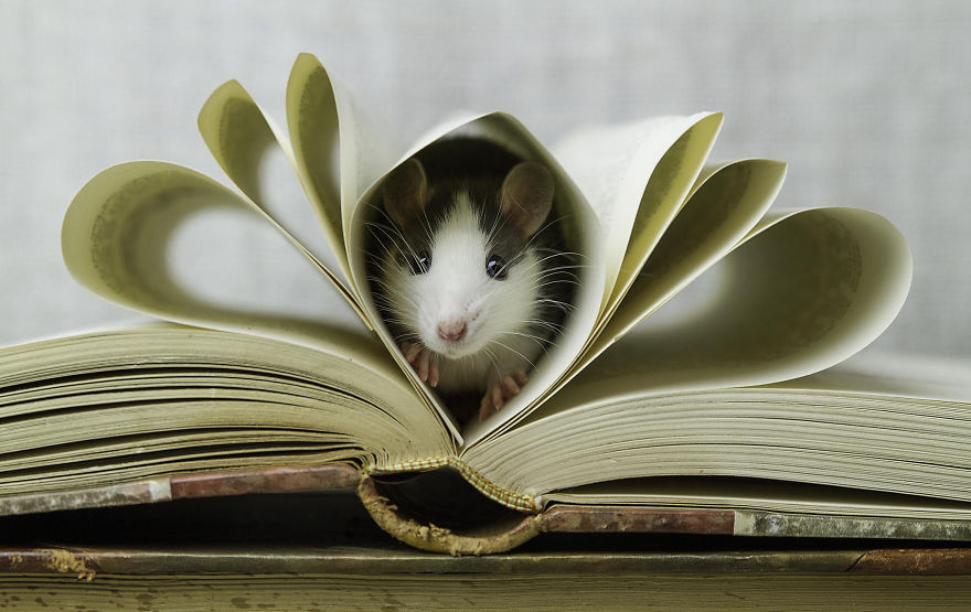 cute-pet-rats-18__880