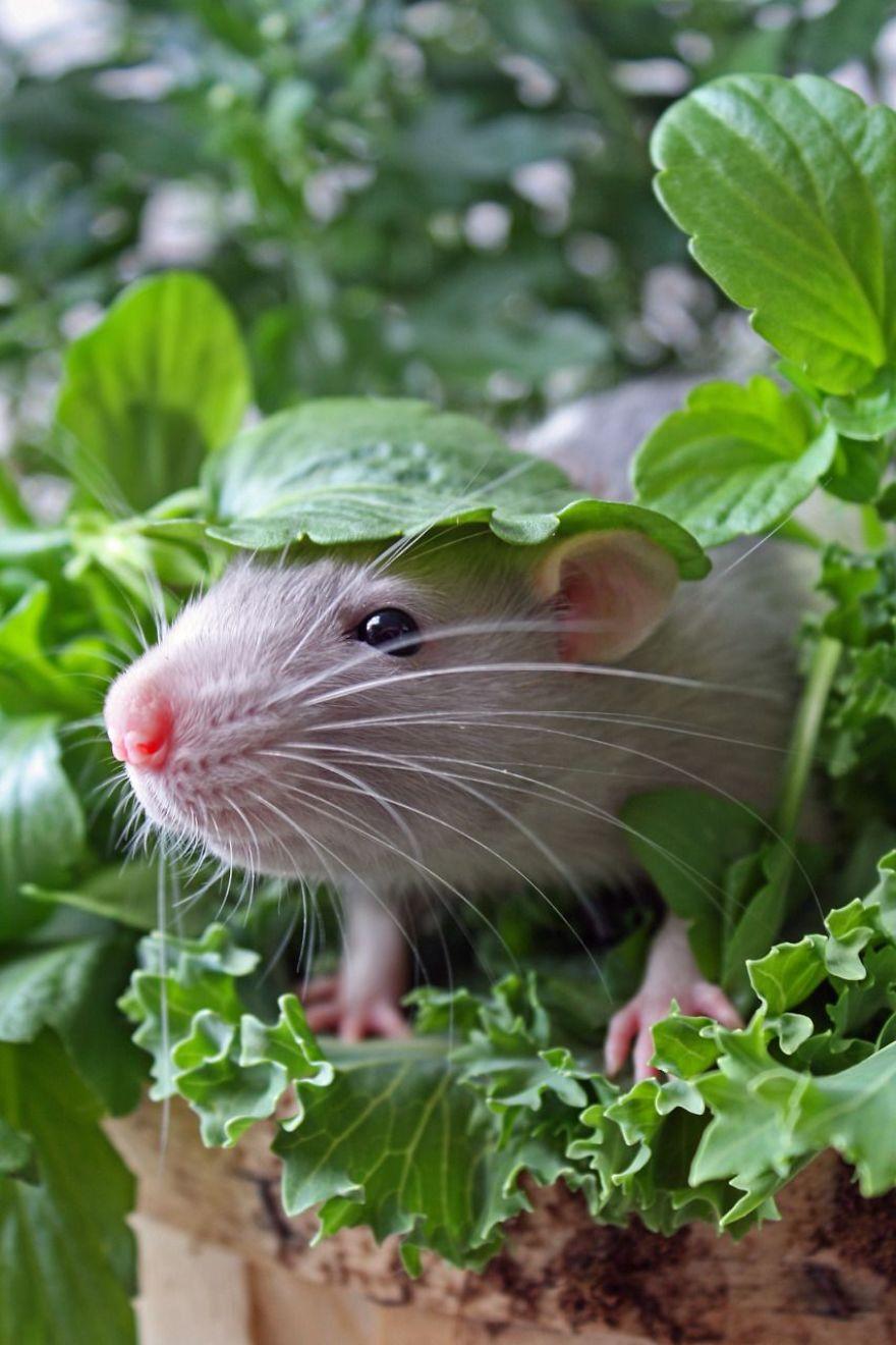 cute-pet-rats-42__880