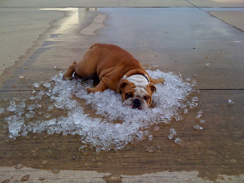 Dogs-And-Hot-Weather-17-Tips-For-Keeping-It-Cool-This-Summer-dog-in-ice