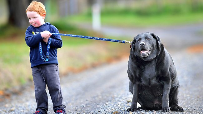 554086-sampson-obese-dog