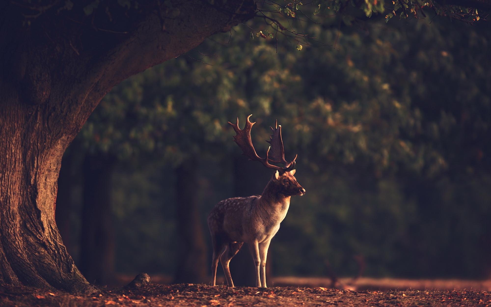 Deer Desktop Background