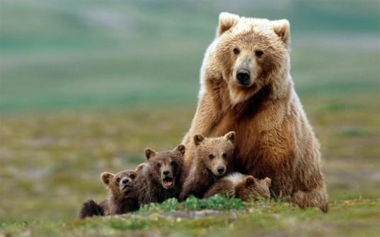 bear-cubs-537x335