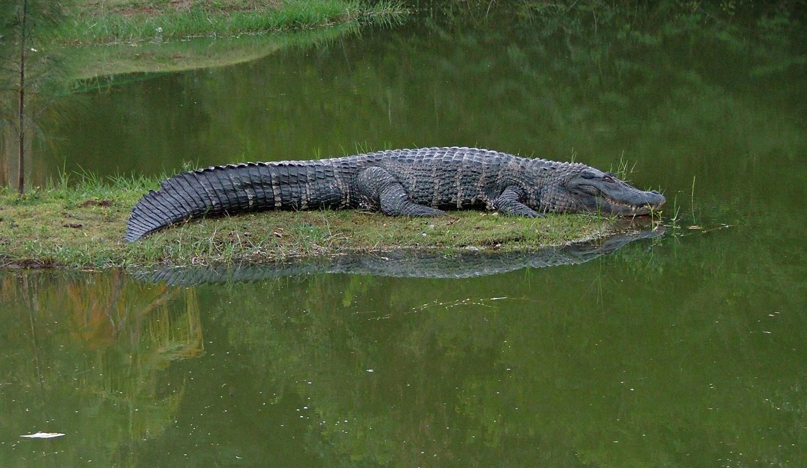 aligator-1399352-1600x1200