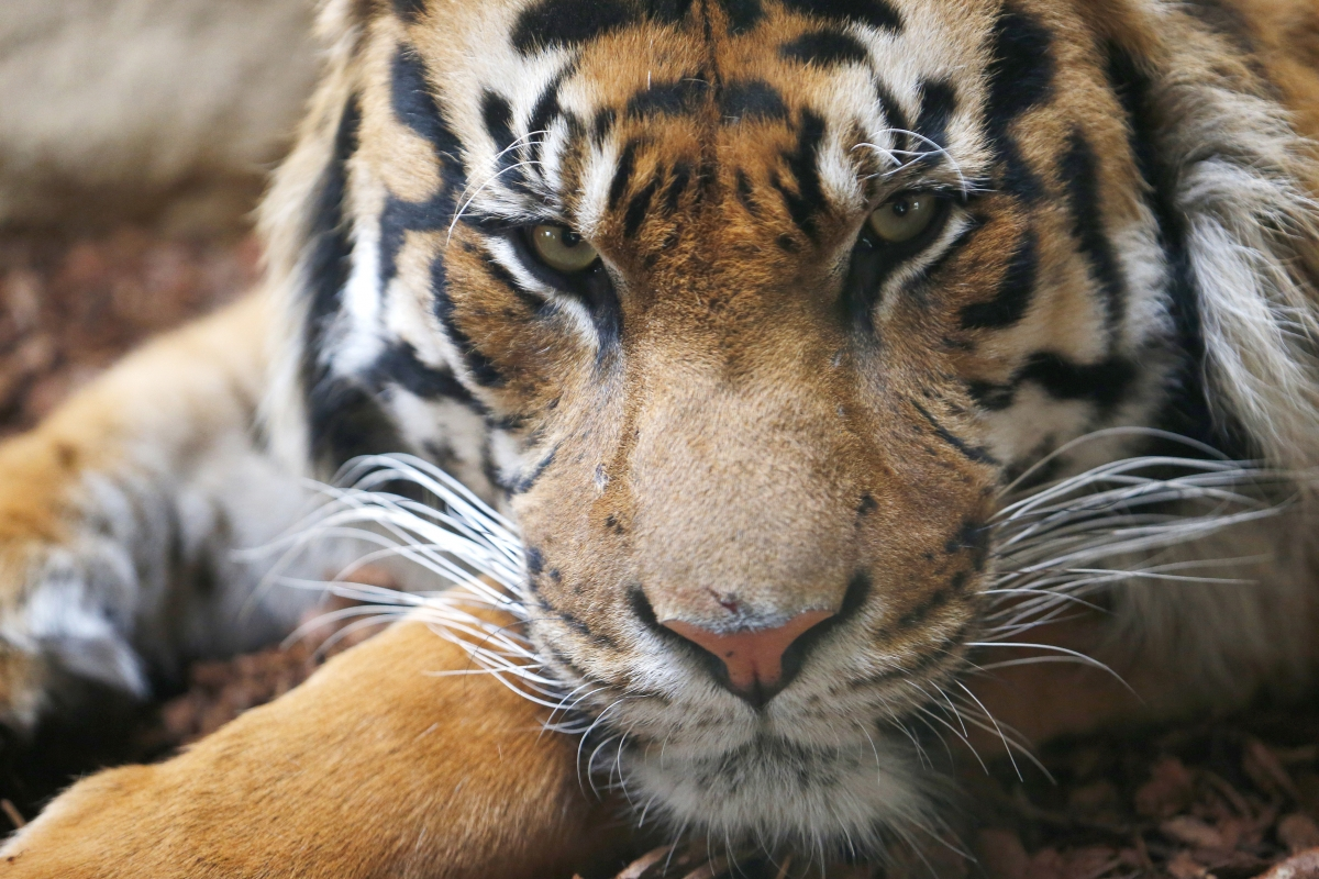 tiger-population-rise-india