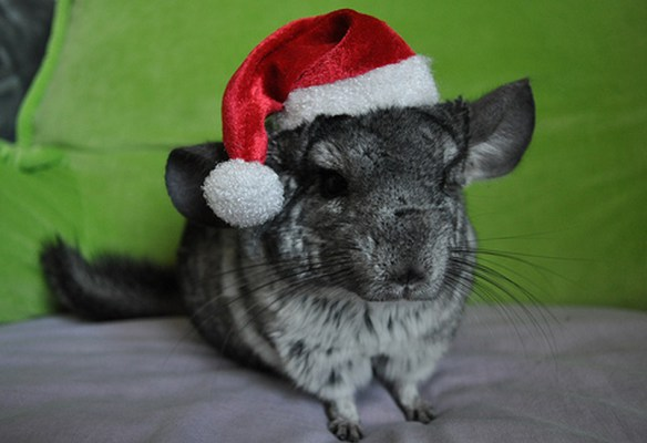 the-world_s-top-10-best-images-of-animals-in-santa-hats-1