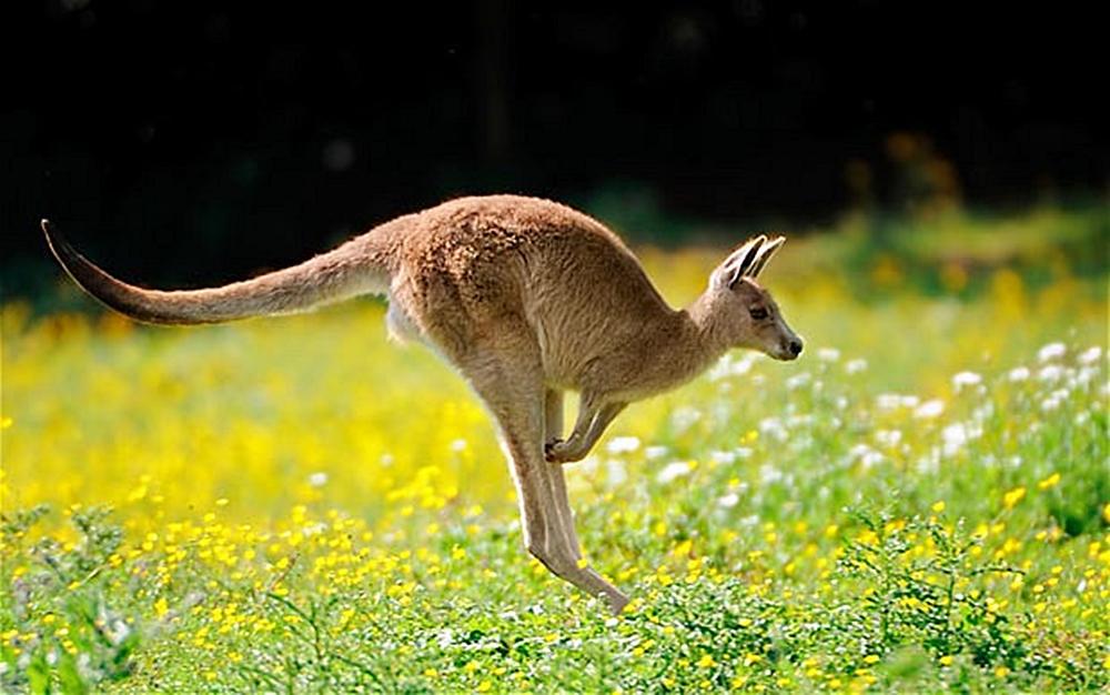 Kangaroo_1786273b