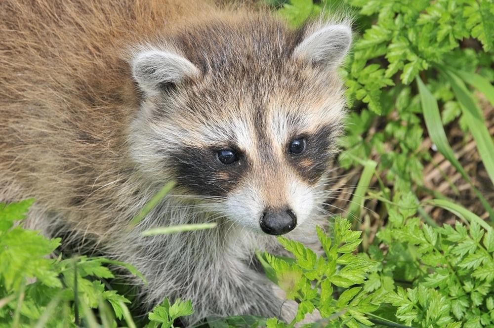 raccoon-1056831_960_720