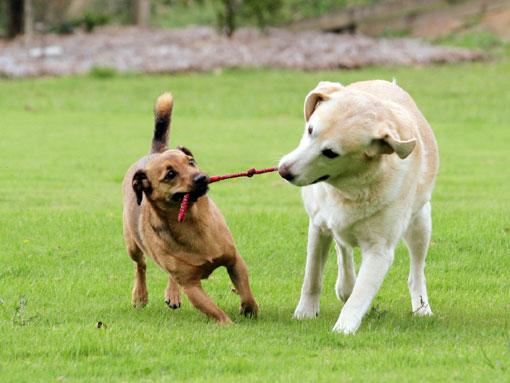 Mammal-Play-dogs2