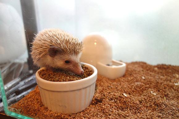 hedgehog-cafe057