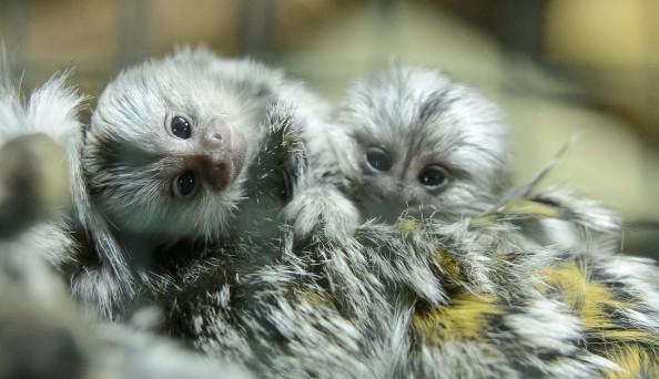 Fehérpamacsos selyemmajmok születtek a Gyöngyösi Állatkertb