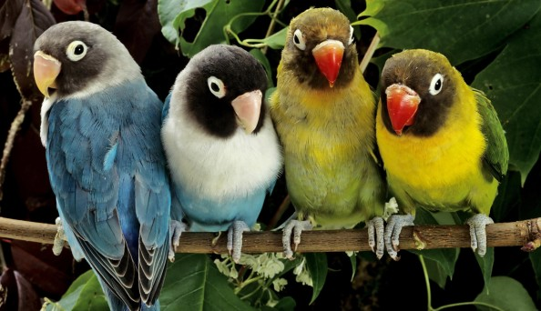 papagalyok