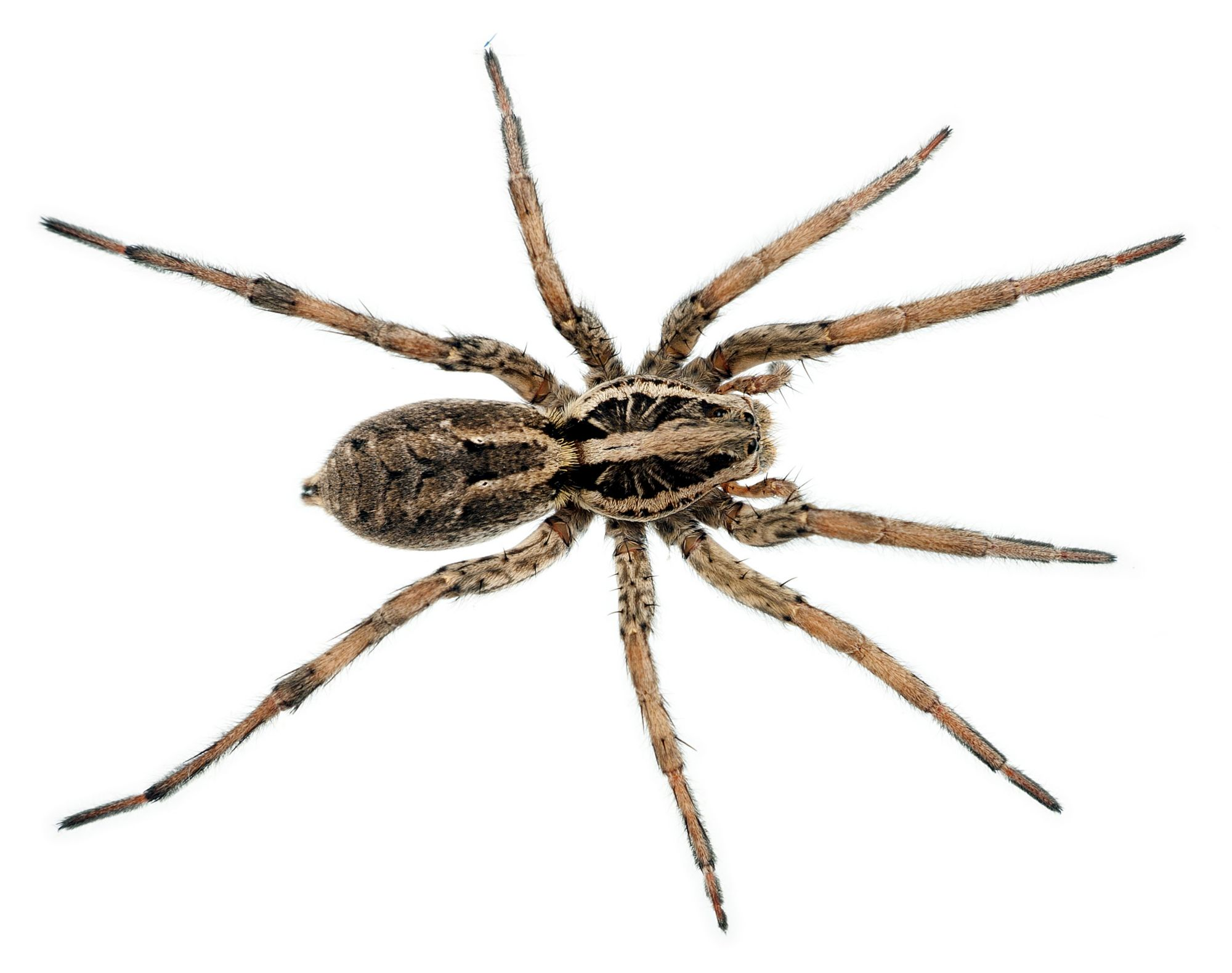 ter-insects-wolf-spider-article-2