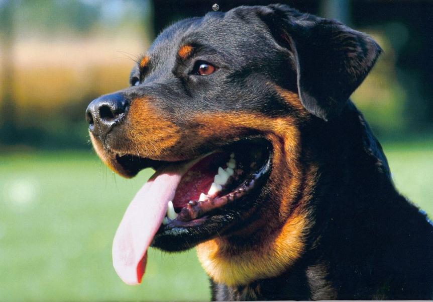 rottweiler-kutya-03