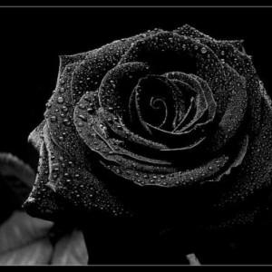 0000_fekete_rozsa_4_2